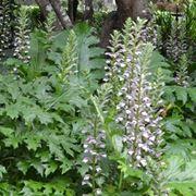 Fiori da giardino perenni: Acanthus