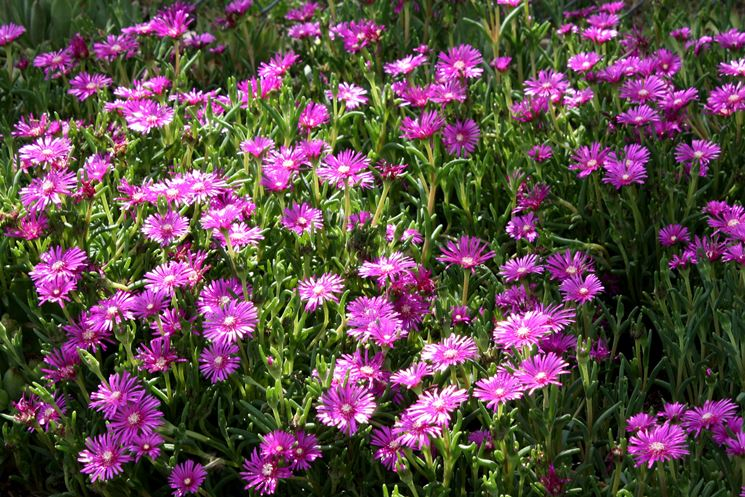 Delosperma esempio di fiore perenne