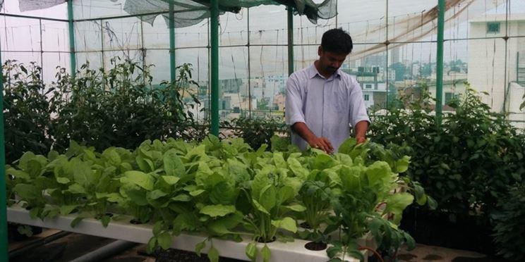 Una persona controlla la coltivazione