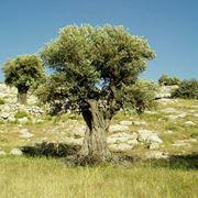 L'albero di olivo nel verde