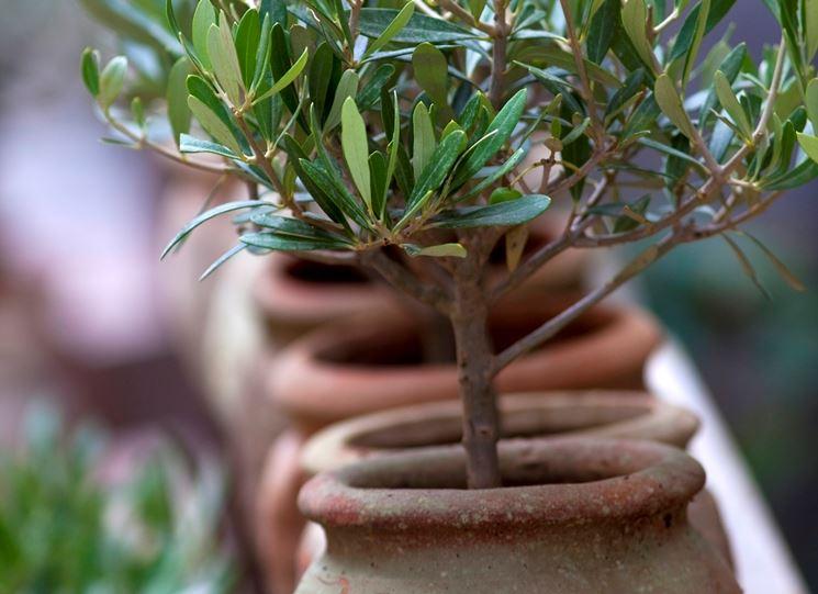 L'olivo sistemato nel vaso