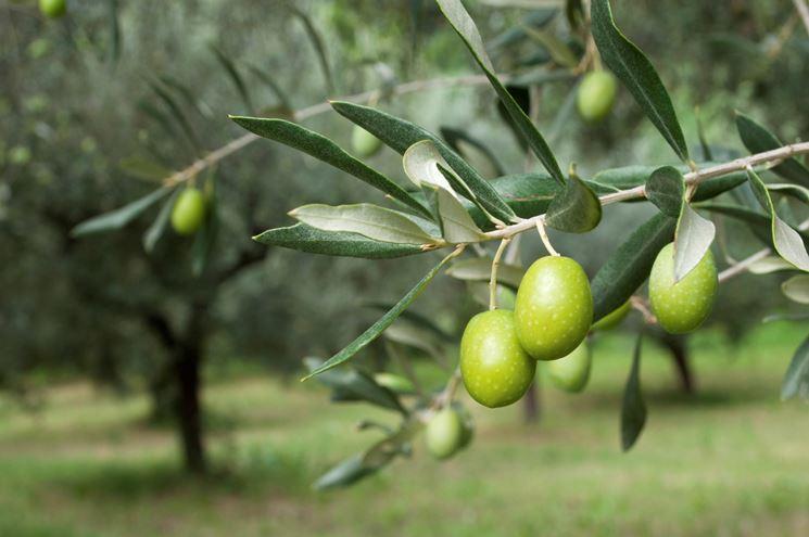 I frutti pregiati dell'olivo