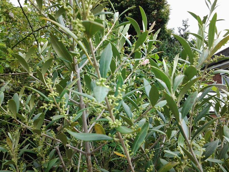Foglie olivo