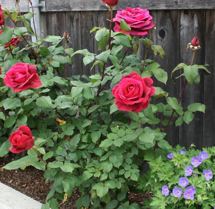 Arbusto di rosa fiorito