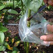 Riproduzione delle rose per margotta