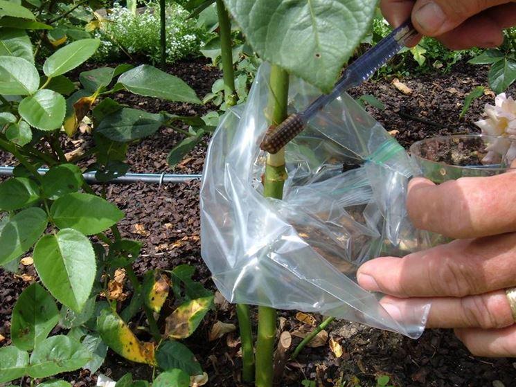 Margotta giardino riproduzione piante for Riproduzione rose