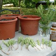 Propagazione delle piante di rosmarino