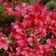 Fiori di azalea rosa