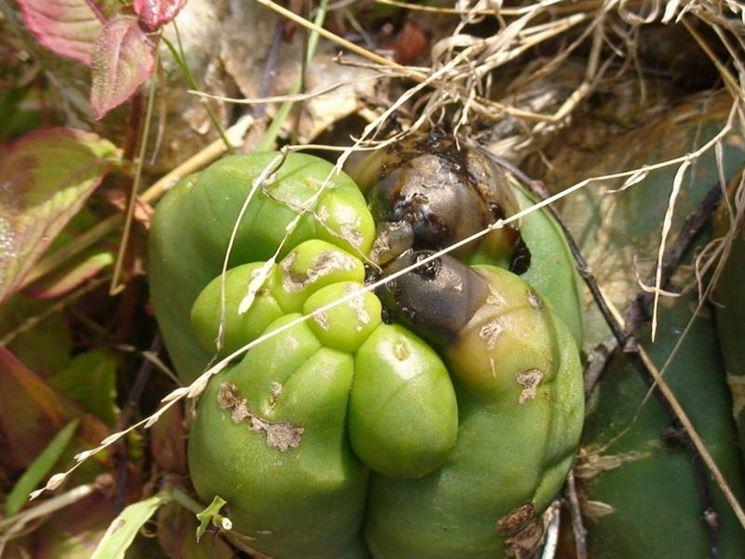 Malattia dei cactus
