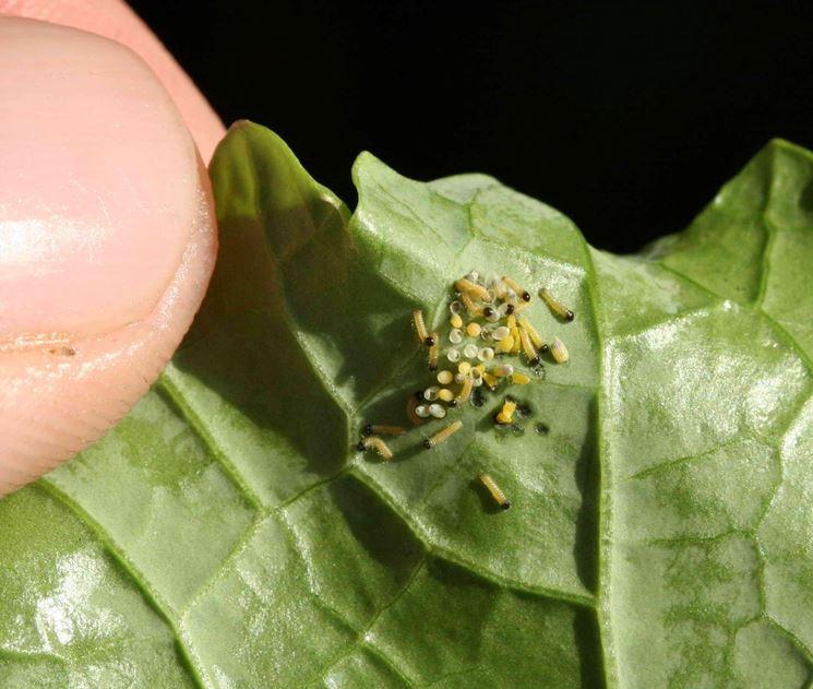 pieris brassicae larve