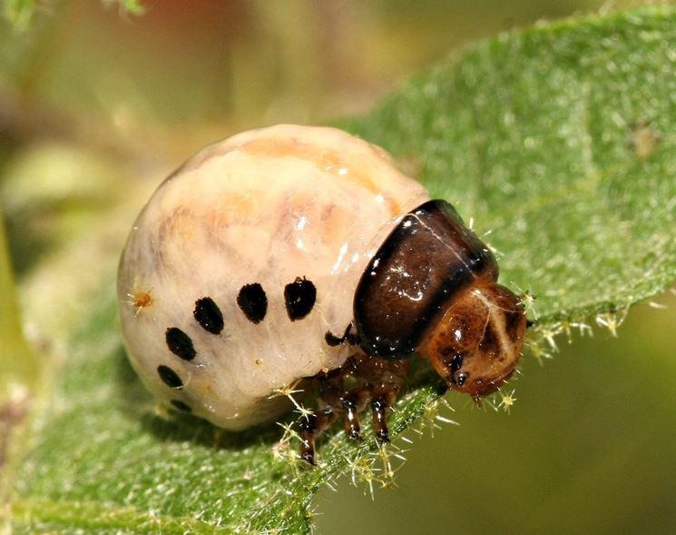 Larva di dorifora