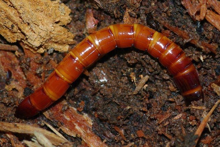 Larva elateride