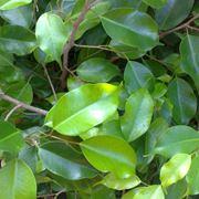 Ficus benjamin foglie ingiallite