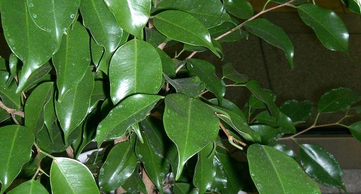 Ficus benjamin perde foglie malattie piante cure per for Ficus benjamin perde foglie