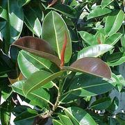 Ficus benjamin perde foglie malattie piante cure per for Ficus benjamin potatura