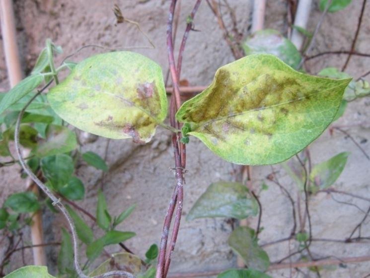 Malattie pianta gelsomino