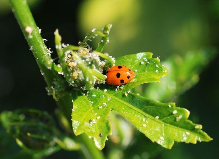 Malattie delle piante malattie piante i rimedi per le for Parassiti piante