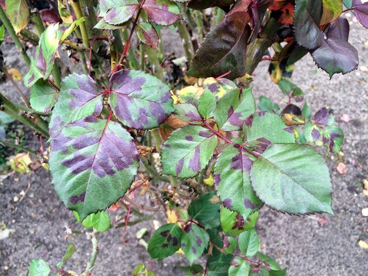 Malattie delle rose malattie piante cura rose for Malattie delle rose
