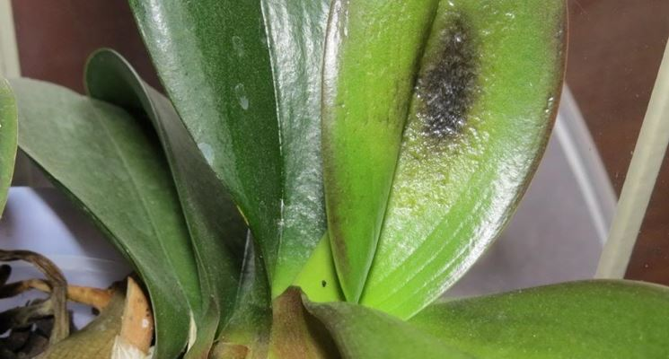 Foglie di orchidea malata