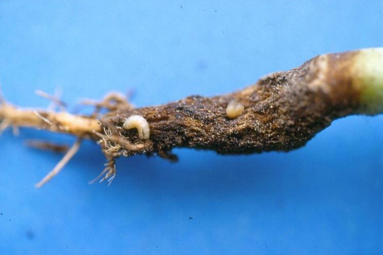 radice attaccata dalle larve