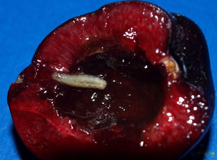 Un frutto con una larva di mosca