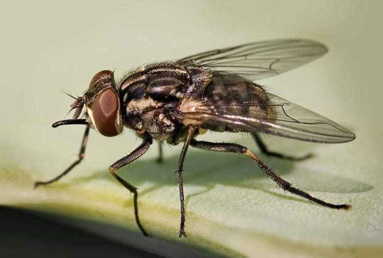 Esemplare adulto di mosca della cipolla
