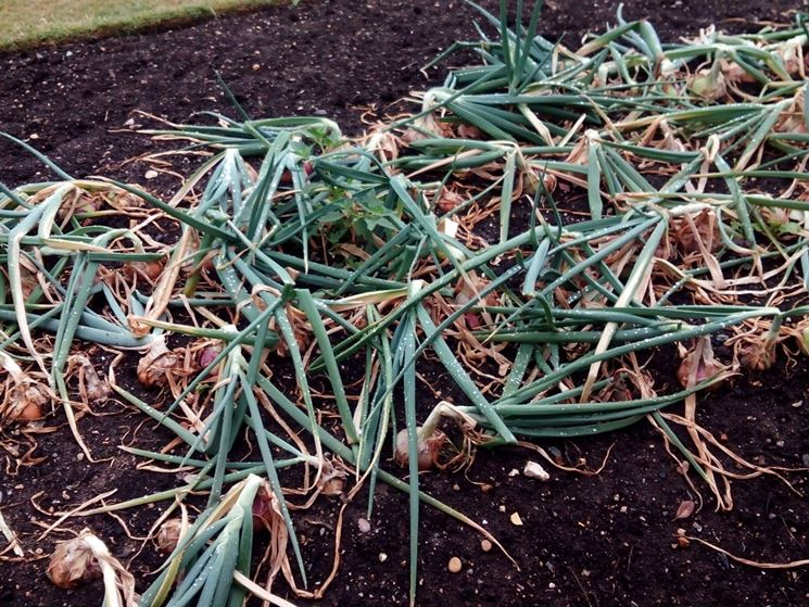 Raccolto distrutto dalle larve di Delia antiqua