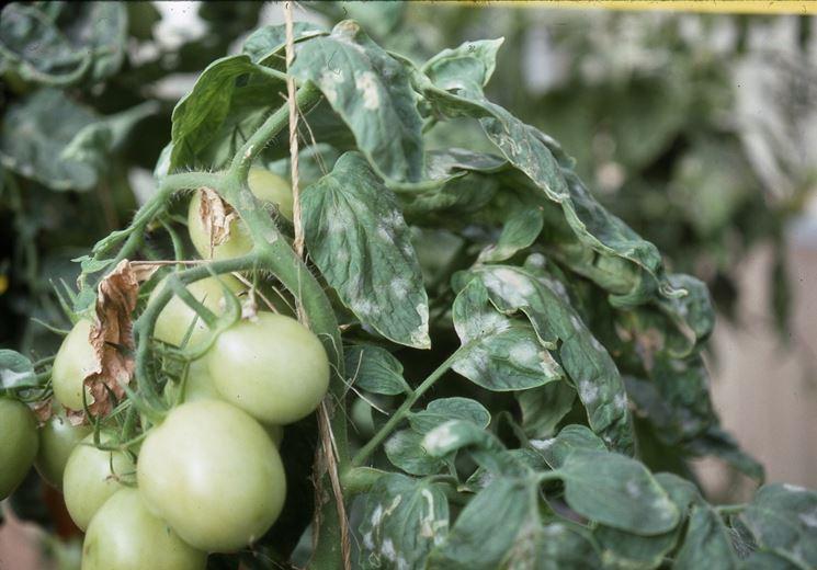 Oidio su pianta di pomodoro