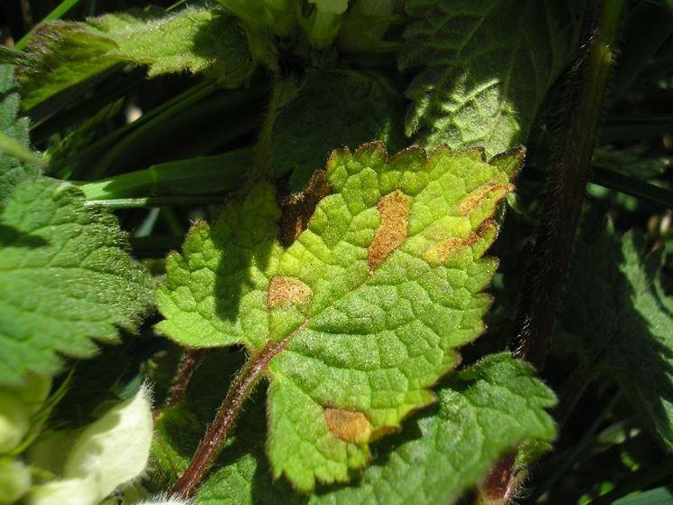 foglie peronospora