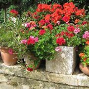 Piante di gerani in vaso