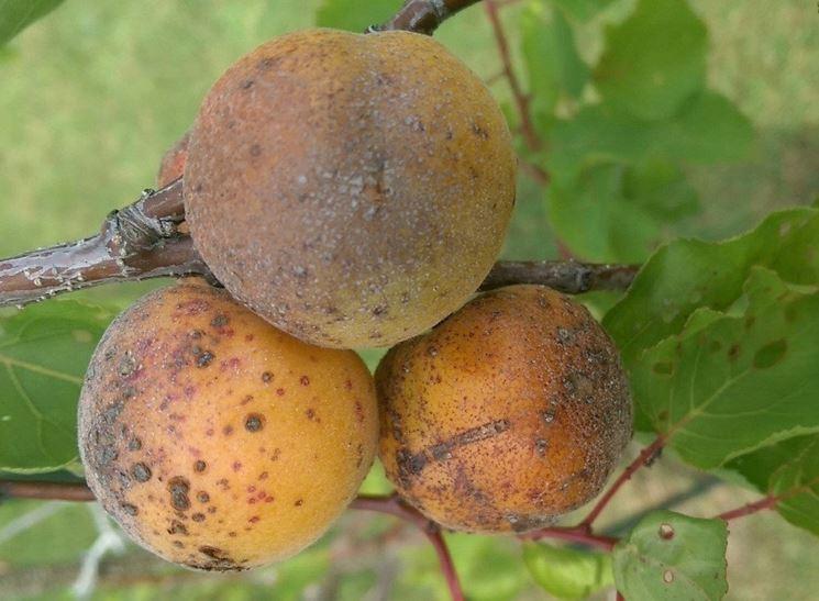 Frutti colpiti da ticchiolatura