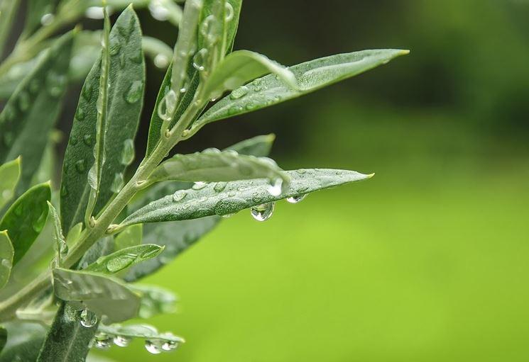 foglie sane di ulivo