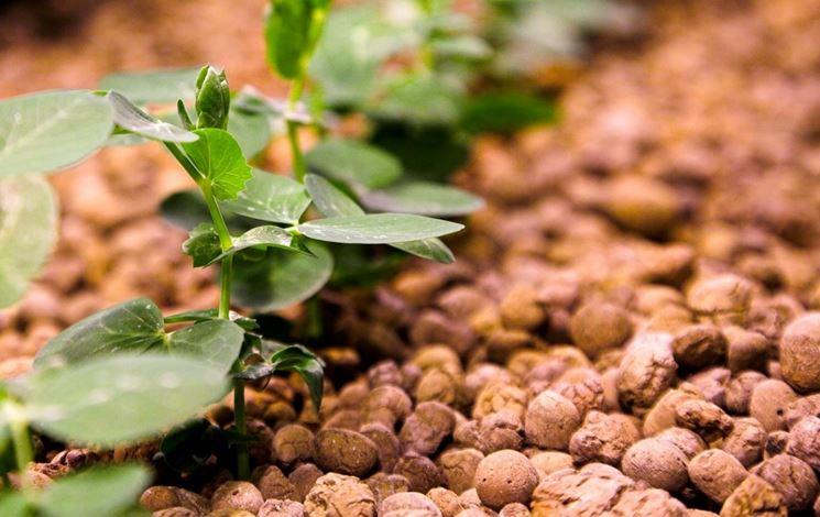 Coltivazione idroponica su argilla