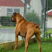Cane dietro una recinzione