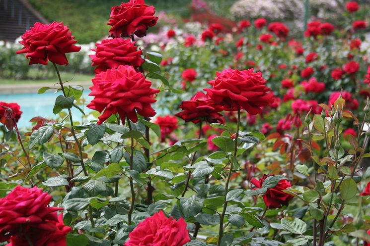 Splendide rose rosse
