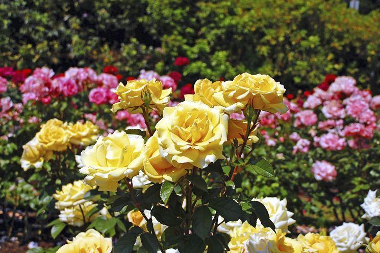 Giardino di rose