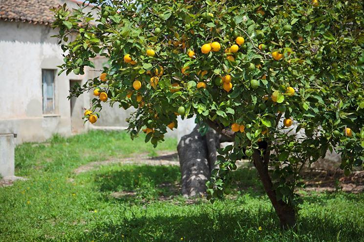 Potare albero limone