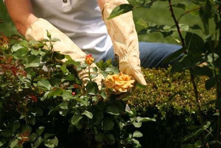 Fare la potatura delle rose