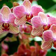 Specie di orchidea