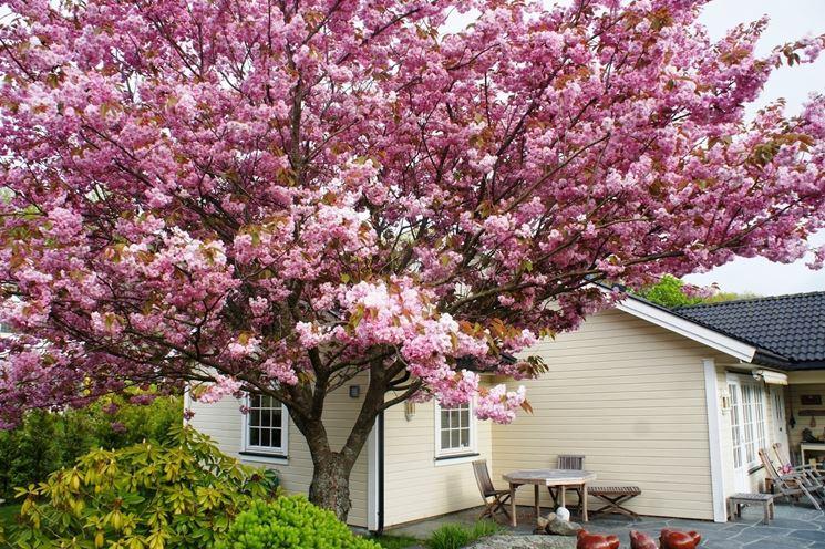 La fioritura primaverile del ciliegio