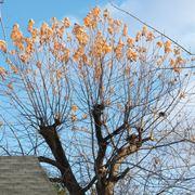 albero in attesa di potatura