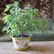Esemplare di Ficus Benjamin