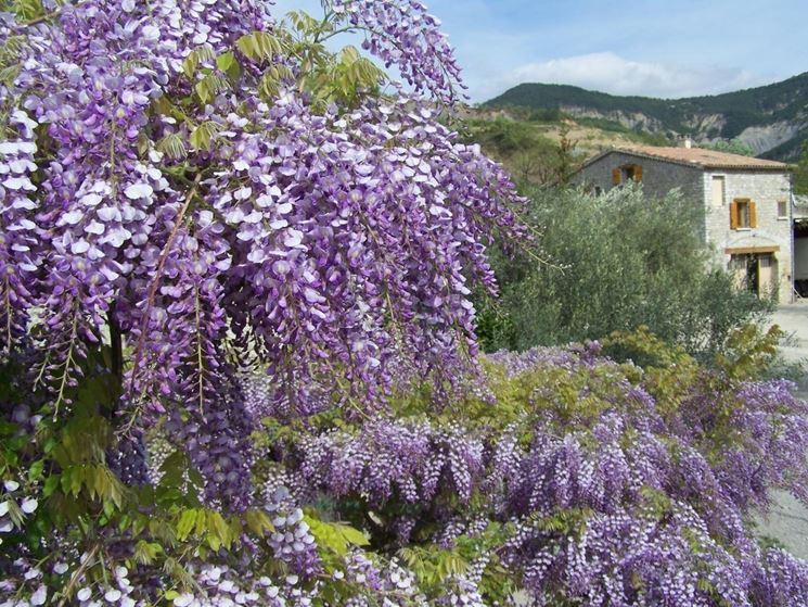 Fiori wisteria