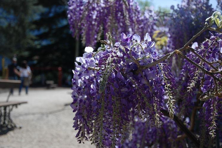 Coltivazione wisteria
