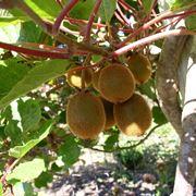 Pianta di kiwi