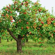Melo carico di frutti