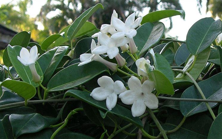 Rami fioriti di un gelsomino