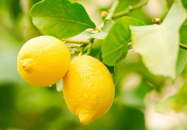 Quando potare il limone tecnica potatura quando for Potatura limone periodo