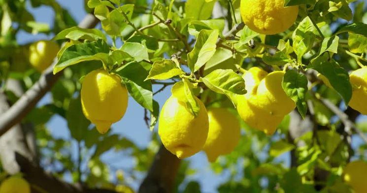 Limoni in frutto
