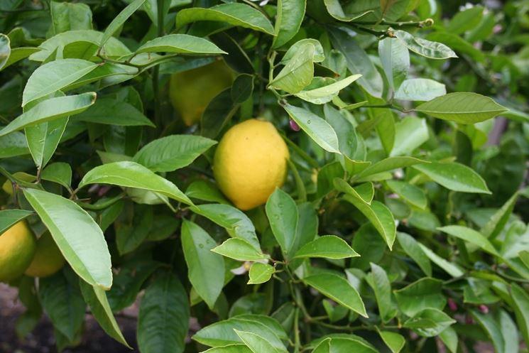 potare limone
